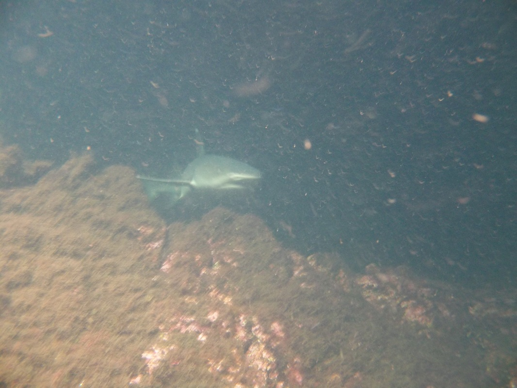 White-tipped shark in Los Tuneles
